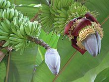 https://upload.wikimedia.org/wikipedia/commons/thumb/e/ee/Banane-Fruchtansatz.jpeg/220px-Banane-Fruchtansatz.jpeg